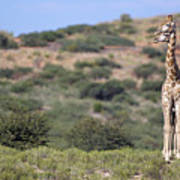 Two Giraffes Looking Into The Distance Art Print