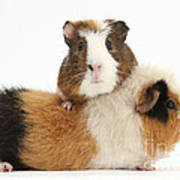 Two Guinea Pigs Art Print