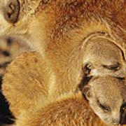 Two Meerkat Pups Sleep Under The Arm Art Print