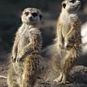 Two Meerkats, Suricata Suricatta, Stand Art Print