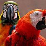 Two Parrots Closeup Art Print