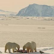 Two Polar Bears Eat A Carcass As Sea Art Print