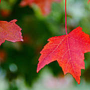 Two Red Maple Leaves Art Print