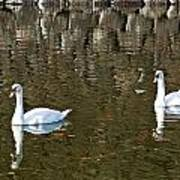 Two Swan Floating On A Pond  Art Print