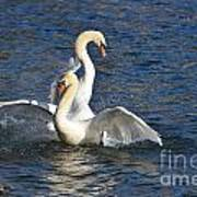 Two Swans Playing Art Print
