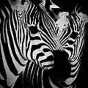 Two Zebras Art Print