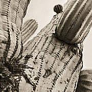 Under Saguaro Art Print