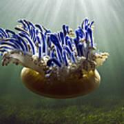 Upside-down Jellyfish Cassiopea Sp Art Print