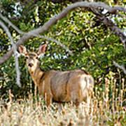 Utah Mule Deer Art Print