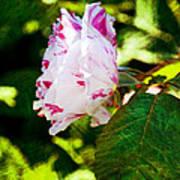 Vari Rose Art Print