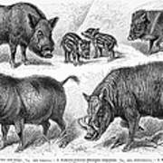 Varieties Of Swine Art Print