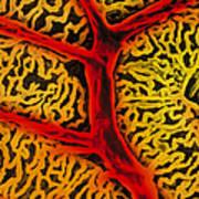 Vascular System Of The Epididymis Art Print