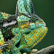 Veiled Chameleon Chamaeleo Calyptratus Print by Ingo Arndt