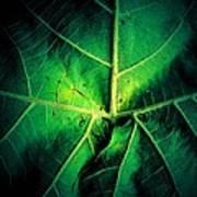 Veins Of A Sycamore Leaf Art Print