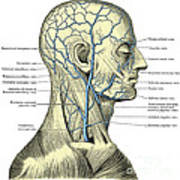 Veins Of The Head And Neck Art Print