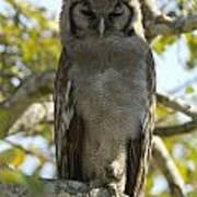 Verreauxs Eagle Owl, Bubo Lacteus, Or Art Print by Paul Sutherland