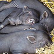 Vietnamese Pot-bellied Piglets Art Print