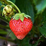 Vine Ripened Strawberry Art Print