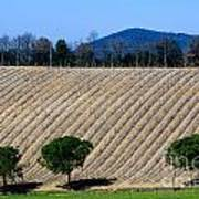 Vineyard On A Hill With Trees Art Print