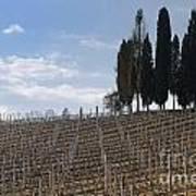 Vineyard With Cypress Trees Art Print