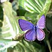 Violet Butterfly Art Print