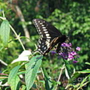 Visit From A Black Swallowtail Art Print