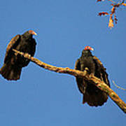 Vultures On A Branch Art Print