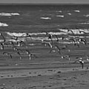 Wading Birds In Flight V4 Art Print