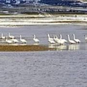 Wading Swans Art Print