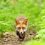 Walking Fox Art Print