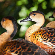 Wandering Whistling Ducks Art Print