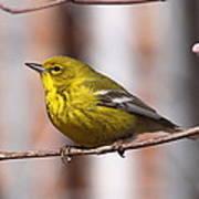 Warbler - Pine Warbler - Oh So Yellow Art Print