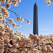 Washington Monument Cherry Trees Art Print