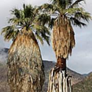 Washingtonia Filifera Fan Palms Art Print