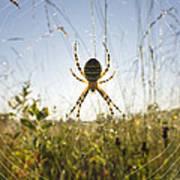 Wasp Spider Argiope Bruennichi In Web Art Print