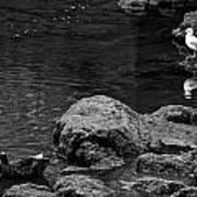 Water Birds Art Print