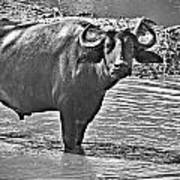 Water Buffalo In Black And White Art Print