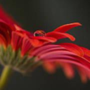Water Drop On A Red Gerbera Flower Art Print