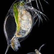 Water Flea Giving Birth Art Print