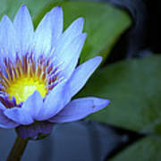 Water Lily Glow Art Print