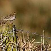 Water Pipit On Post Art Print