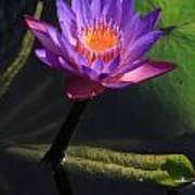 Waterlily 1 Art Print