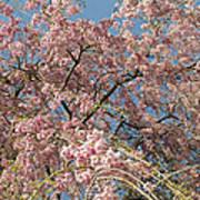 Weeping Cherry Tree In Bloom Art Print