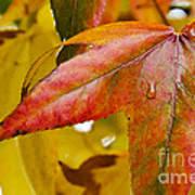 Weeping Red Leaf Art Print