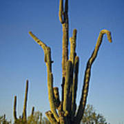 Weird Giant Saguaro Cactus With Blue Sky Art Print