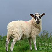Wensleydale Lamb Art Print