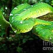West Amazonian Emerald Tree Boa Art Print
