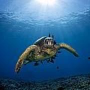 West Maui Sea Turtle Art Print