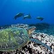 West Maui Sea Turtles Art Print