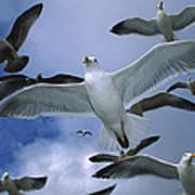 Western Gull Larus Occidentalis Flock Art Print by Michael Durham/ Minden Pictures